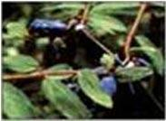Buy cheap Sweetberry Honeysuckle Red from wholesalers