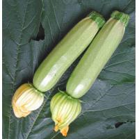 Quality Variety name:ASQ011 ASQ011 Shunping prime vegetable seeds exporter of squash seeds wholesale
