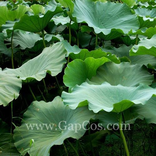 Cheap Lotus Leaf Extract for sale