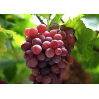 China Grape Seed Extract on sale