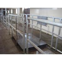 cattle weighing