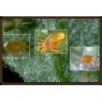 Buy cheap The Pest: Spider Mites from wholesalers