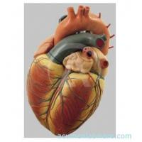 Buy cheap Human Heart from wholesalers