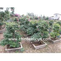 Quality Bougainvillea Bougainvillea,medium bonsai wholesale