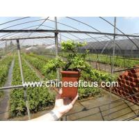 Quality Ficus Microcarpa Rhododendron hybridum wholesale