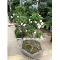 Quality Bonsai plants Gardenia jasminoides wholesale