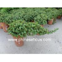 Quality Green Plants Portulacaria afra wholesale