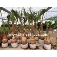 Buy cheap Ficus Microcarpa Hyophorbe lagenicaulis from wholesalers