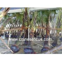 Buy cheap Ficus Microcarpa Neodypsis decaryi Jumelle from wholesalers