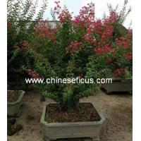 Quality Ficus Microcarpa Lagerstroemia Indica wholesale