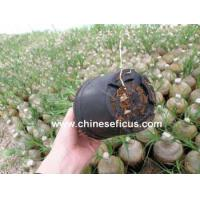 Quality Ficus Microcarpa Nolina with roots wholesale