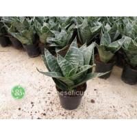 Quality Ficus Microcarpa Green Hahnii wholesale