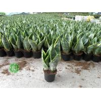 Quality Ficus Microcarpa Sansevieria Superba wholesale