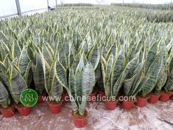 Cheap Ficus Microcarpa Sansevieria trifasciata var.laurentii for sale