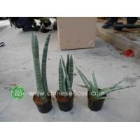 Quality Ficus Microcarpa Sansevieria cylindrica wholesale