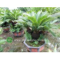 Quality Ficus Microcarpa cycas multihead wholesale