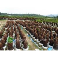Buy cheap Ficus Microcarpa cycas,potted,without leaves from wholesalers