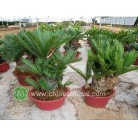 Quality Ficus Microcarpa cycas multihead,small size wholesale