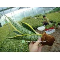 Quality Ficus Microcarpa Sansevieria,rootted wholesale