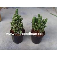 Quality Ficus Microcarpa Cereus hildmannianus 'Fairy castle' wholesale