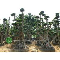 Buy cheap Ficus Microcarpa ficus microcarpa, multistam from wholesalers
