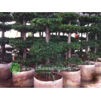 Buy cheap Ficus Microcarpa Ficus microcarpa,5levers from wholesalers