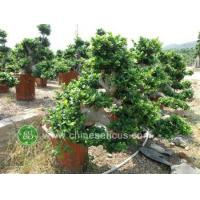 Buy cheap Ficus Microcarpa ficus microcarpa ,fall water shape from wholesalers