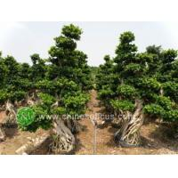 Buy cheap Ficus Microcarpa Ficus microcarpa from wholesalers