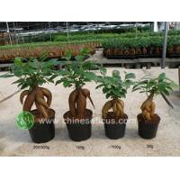 Quality Ficus Microcarpa Ficus ginseng wholesale
