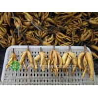 Quality Ficus Microcarpa ficus ginseng bare roots wholesale