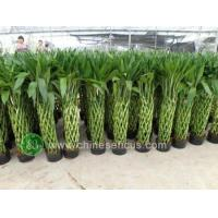 Quality Ficus Microcarpa Dracaena sanderiana,braided and potted wholesale