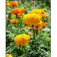 Buy cheap Marigold Natural Marigold Root Extract from wholesalers