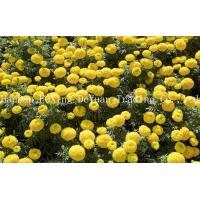 Quality Marigold Marigold Yellow Liquid wholesale