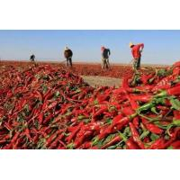 Quality Chillis New Crop Dry Red Chilli Of Vegetable wholesale