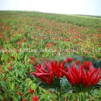 Quality DRIED RED CHILLI IN CHINA wholesale