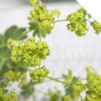 Buy cheap Alchemilla from wholesalers
