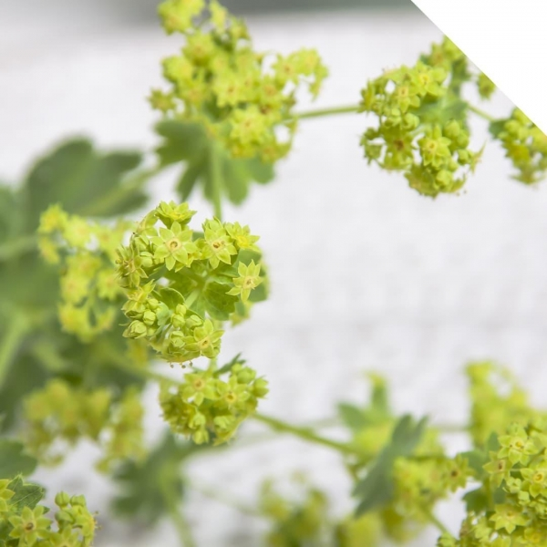 China Alchemilla